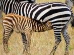 Baby Zebra Nursing