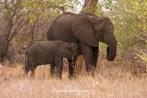 Baby Elephant Nursing from Mama From: http://keaphotography.photoshelter.com/image/I0000Hv7IWNG.N5U
