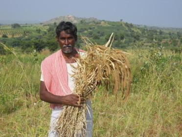 Foxtail Millet in Kadri, Ananthapur