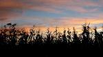sunset-corn1
